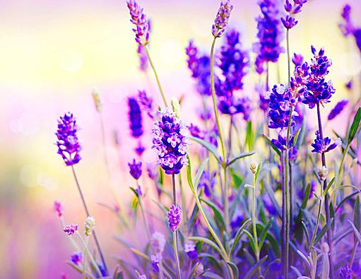 Levandule v kosmetice nejen krásně voní, ale i pomáhá